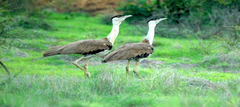 great_indian_bustard_anctuary